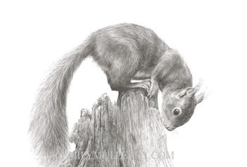 """""""The Little Acrobat"""" - Red Squirrel"""