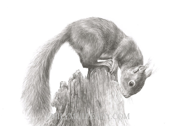 """The Little Acrobat"" - Red squirrel (Original, framed)"