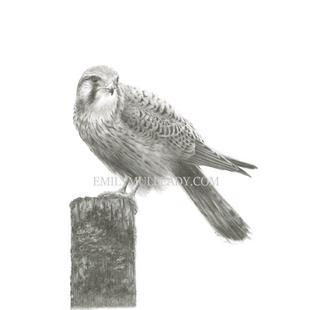 """Windhover, resting"" - Female Kestrel"