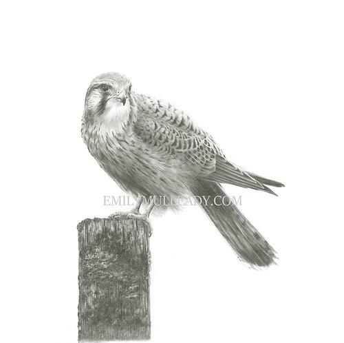 """""""Windhover, resting"""" - Female kestrel (Original, unframed or framed)"""
