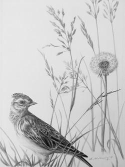 Skylark in Meadow