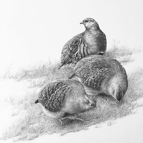 """A Covey of Grey Partridges (Perdix Perdix)"" (Original, unframed)"