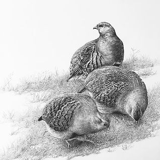 My covey of grey partridges has now SOLD