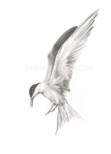 """""""Common tern at Wells next the Sea"""" (Limited edition print)"""