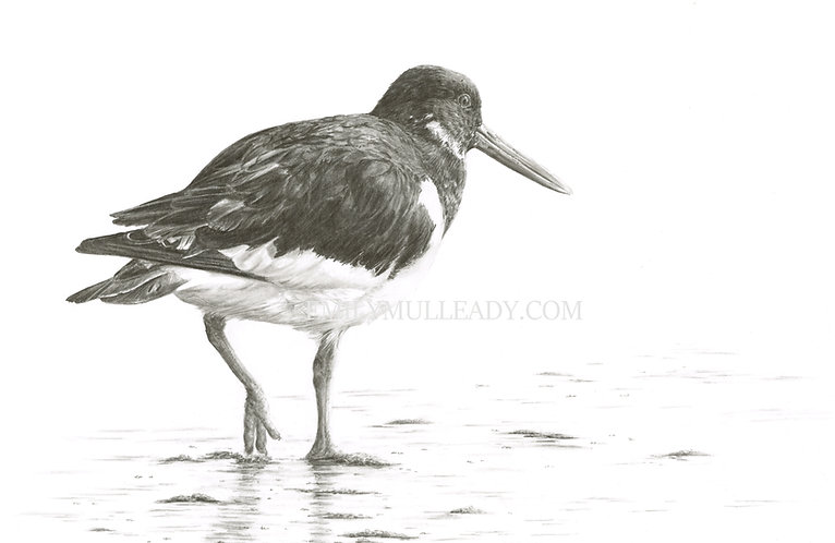 """Oystercatcher at Blakeney, Norfolk"" (Original, framed)"