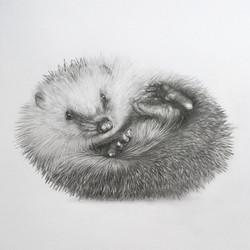 """""""Study of a hedgehog, 1"""""""