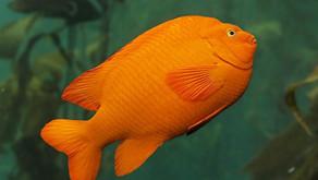 Garibaldi Damselfish  (Hypsypops rubicundus)