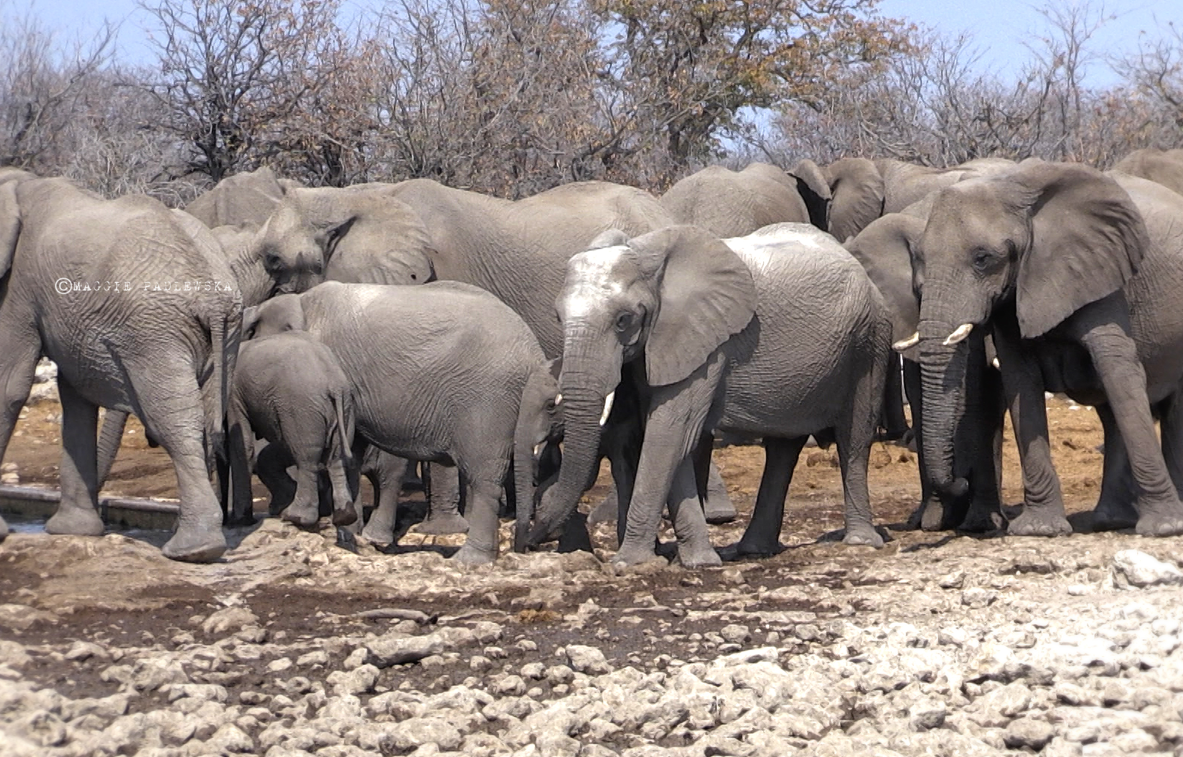 PADLEWSKA-ELEPHANTS