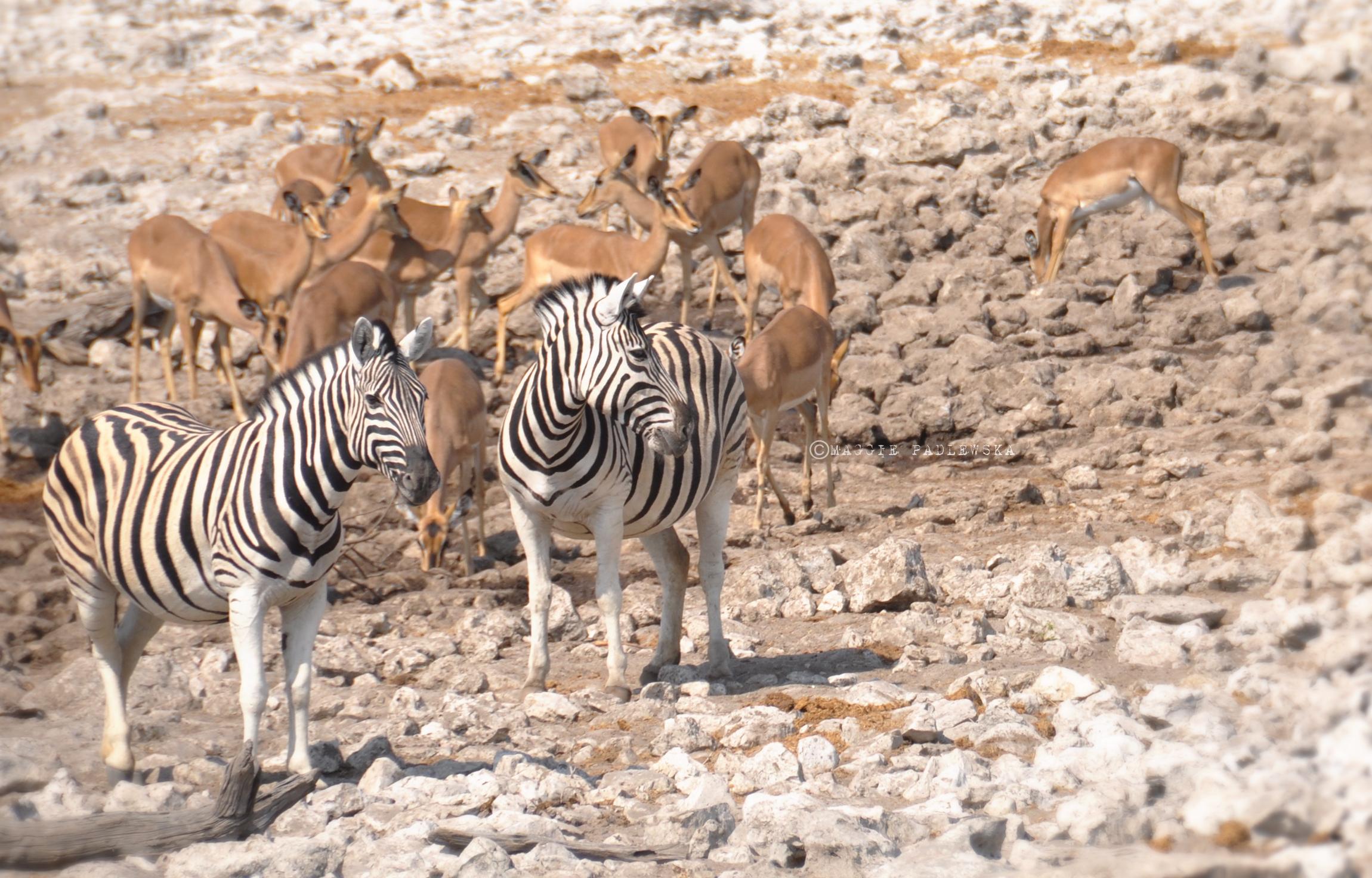 PADLEWSKA-Zebras2
