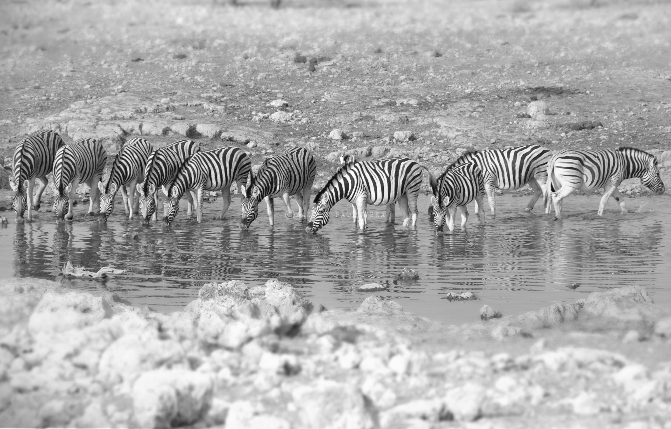 PADLEWSKA-Zebras