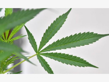 Traditional Cannabis cultivators introduced to international production standards