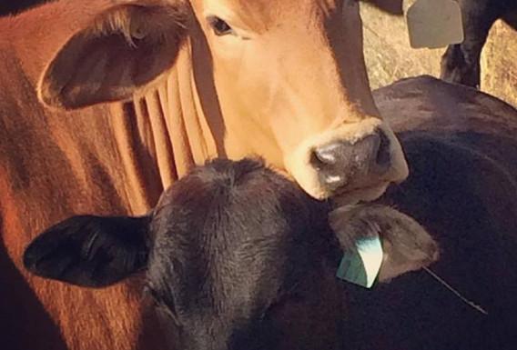 holistically managed cattle