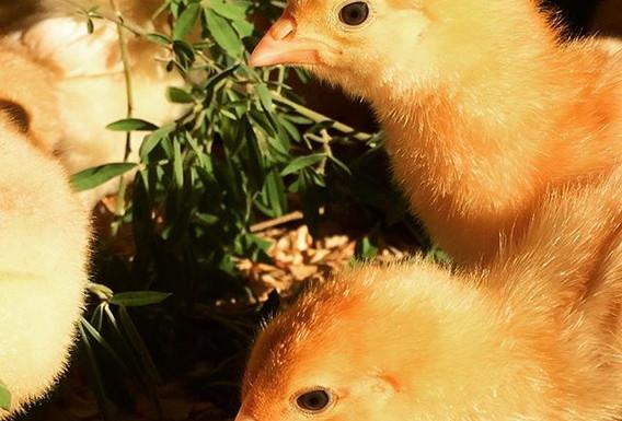 organic chicks