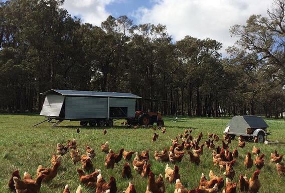 Hens on pasture