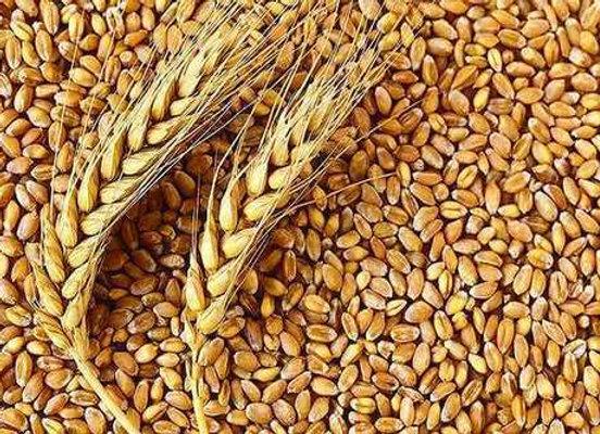 Organic wheat 20kg