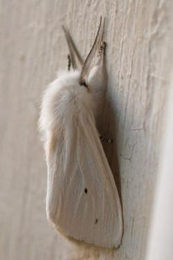 White Moth.jpg
