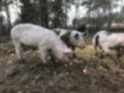 iberecoschwein ibericofleich Niedergörsdorf