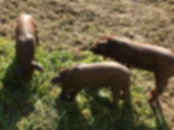iberecoschwein ibericofleich altes lager