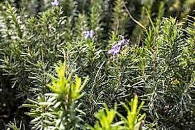 Rosemary Honey 50mg