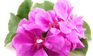 Rose Geranium Facial Cream