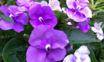 Tropical flowers Honey 50mg