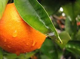 Orange blossom Honey 50mg