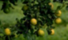 lemon oil.png