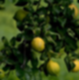 lemon tree.png