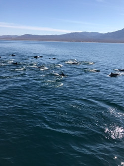Swimming dolphins Los Barriles