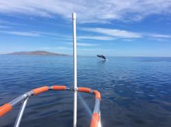 Whale jump Los Barriles