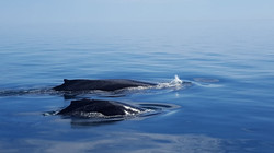 Whale watching Mama and Calf