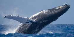Humpback whale Los Barriles