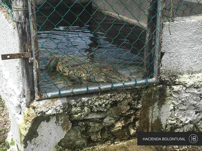 Recolección de Huevos de Cocodrilo, Río Lagartos