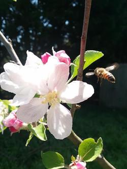 Honeybees on Apple Blossom