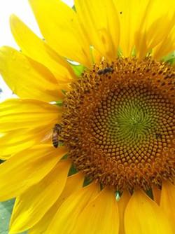 Honeybees on Sunflower