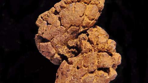 분화석 (Coprolite)