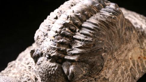 삼엽충 (Trilobite)