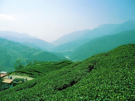 Yang Tea Chile Tea Garden