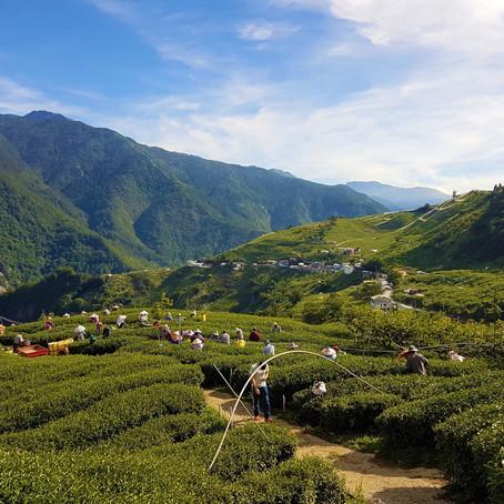 Taiwán, industria del té única.