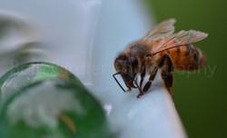 Honey Bee drinking water