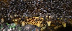 honey bee queen cups
