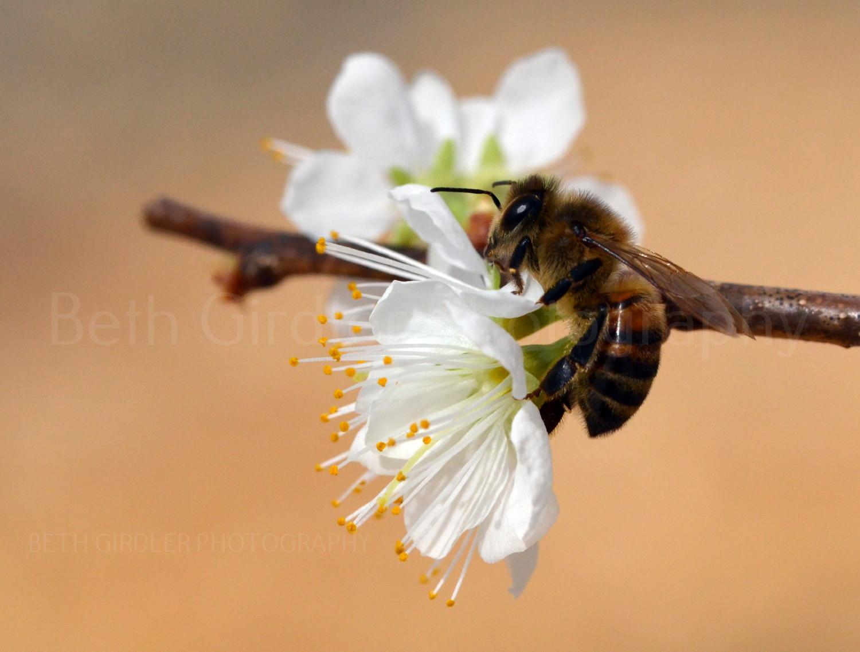 Honey bee on a cherry blossom