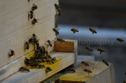 honey bees approaching the hive