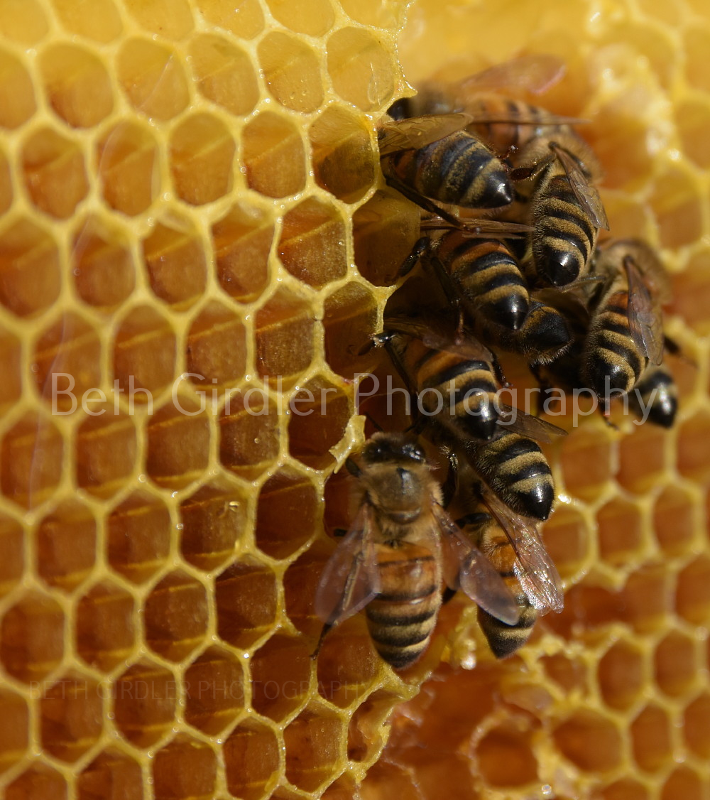 honey bees cleaning comb