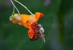 honey bee on jewelweed with pollen