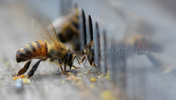 bees fanning at the hive entrance