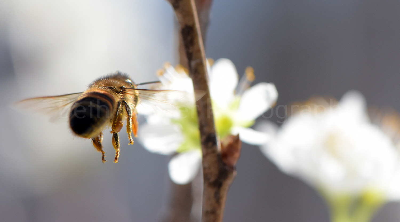 honey bee on flower