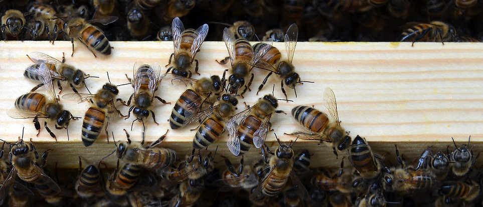 Honey bees on the tops of frames