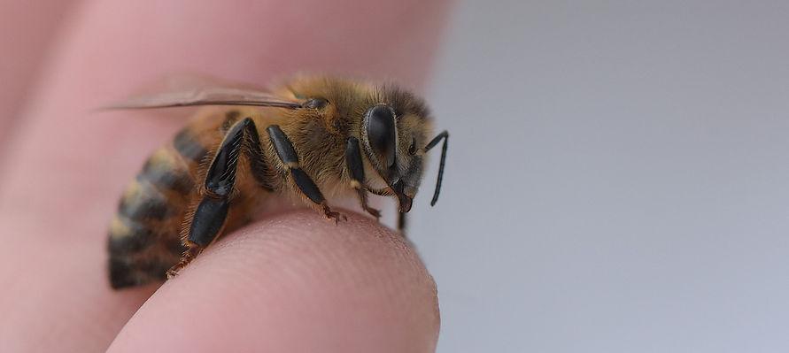 honey bee on a finger tip