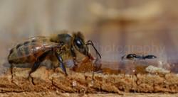 honey bee lapping honey